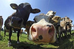 iStock_cows_Medium