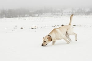 dog tracking in the snow