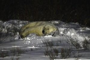 Polar bear sleeping at night